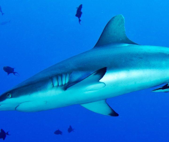 Im Tauchrevier Blue Corner in Palau ist die Wahrscheinlichkeit Hai zu sichten, besonders hoch.