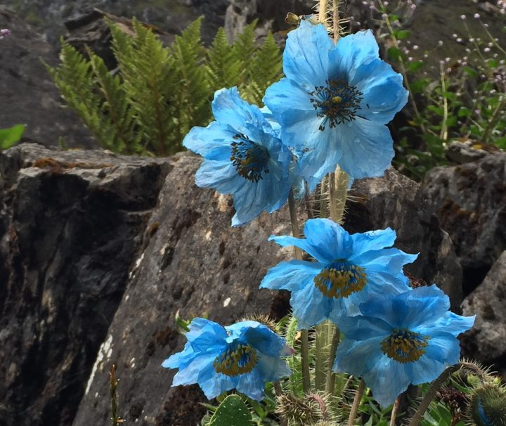 """Der blau blühenden Sorten der Pflanzengattung Scheinmohn werden auch """"Blauer Mohn"""" genannt, diese kommen vor allem im Himalaya sehr häufig vor."""