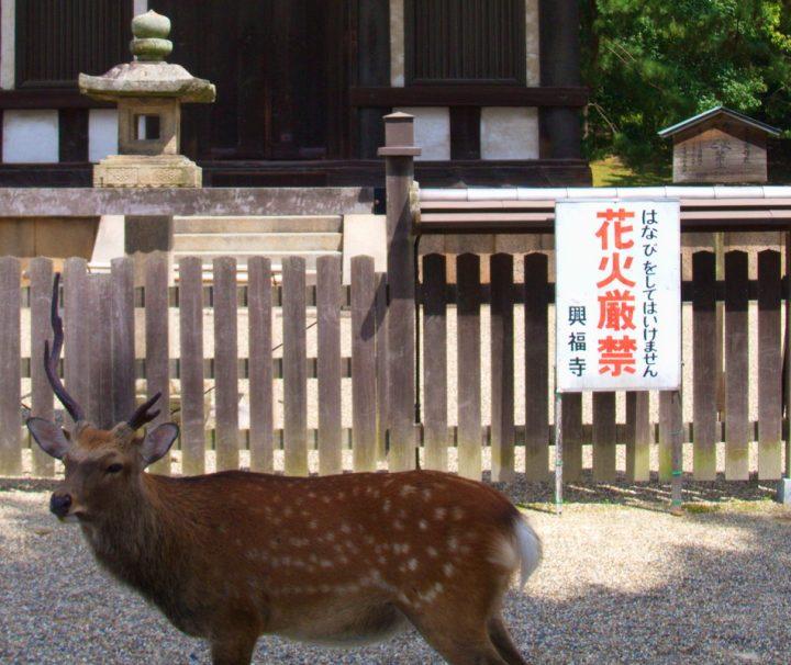 Nara, die Wiege der japanischen Kultur beheimatet Rehe und Hirsche, die durch die Parkanlage schlendern.