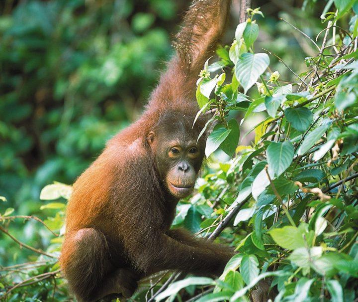Auf Borneo können Orang Utans noch in freier Wildbahn angetroffen werden.