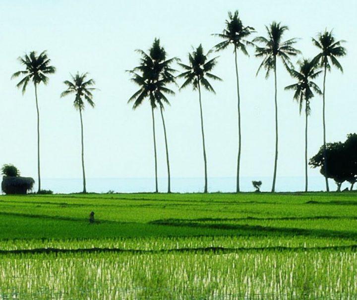 Die bewässerten Reisterassen prägen die Landschaft von Bali und sind fast überall, außer im trockeneren Westen der Insel zu finden.