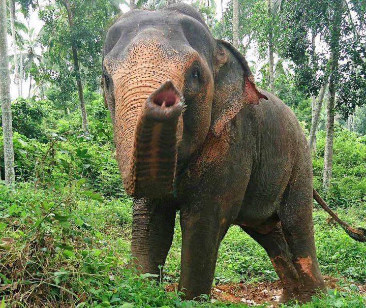 Elefant Nimale im Elephant Freedom Project