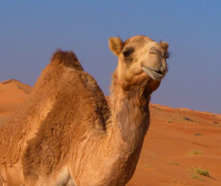 Kamele gehören zu einem Wüstenerlebnis einfach dazu. Im Oman gibt es zwar keine wilden Kamele, einige Besitzer lassen ihre Kamele jedoch frei in der Wüste laufen.