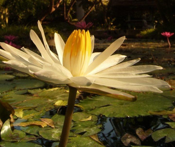 Die im landestypischen Stil und mit viel Liebe zum Detail erbaute Bungalowanlage im Pondok Sari Beach & Spa Resort ist eingebettet in einen wild-romantischen, tropischen Garten mit asiatischen Elementen, mehreren Lotus-Teichen und altem Baumbestand.